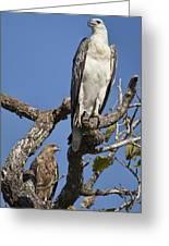 Sea Eagle And Brown Kite Sharing A Tree Greeting Card