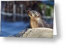 Sea Lion Resting Greeting Card