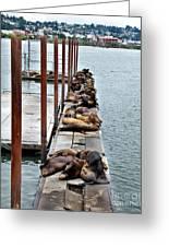 Sea Lions Sleeping Greeting Card by Robert Bales