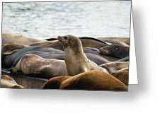 Sea Lions Sunning On Barge At Pier 39 San Francisco Greeting Card