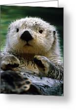 Sea Otter Swimming At Tacoma Zoo Captive Greeting Card