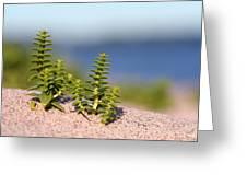 Sea Sandwort Greeting Card