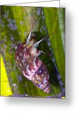 Sea Snail On Seagrass Greeting Card by Science Photo Library