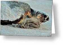 Sea Turtle Heading Back To Sea  Greeting Card