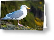 Seagull Heceta Head - Oregon Greeting Card