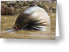 Sealion Grooming Greeting Card