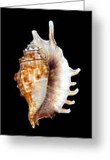 Seashell Lambis Digitata Greeting Card
