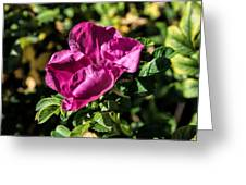 Seasons Last Rose Greeting Card
