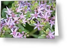 Sedum Closeup Greeting Card