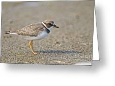 Semi-palmated Plover Pictures 34 Greeting Card