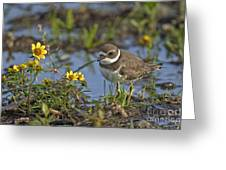 Semi-palmated Plover Pictures 44 Greeting Card
