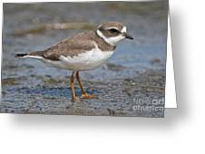 Semi-palmated Plover Pictures 59 Greeting Card