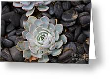 Sempervivum Greeting Card