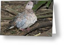 Senegal Turtledove Greeting Card by Gerald Murray Photography