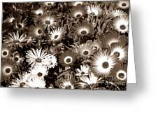 Sepia Asters Greeting Card