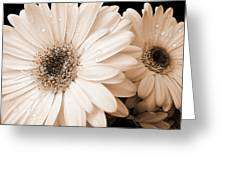 Sepia Gerber Daisy Flowers Greeting Card by Jennie Marie Schell