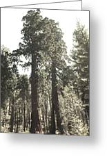 Sequoias Greeting Card