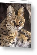 Serval Portrait Wildlife Rescue Greeting Card