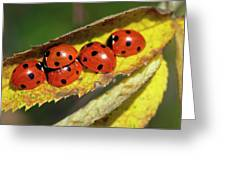 Seven-spot Ladybirds On A Leaf Greeting Card