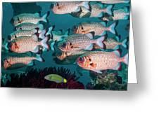 Shadowfin Soldierfish Greeting Card