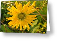 Shasta Daisy Greeting Card