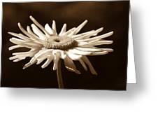 Shasta Daisy Flower Sepia Greeting Card