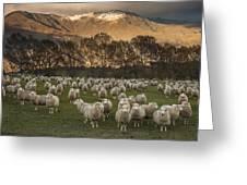 Sheep Flock At Dawn Arrowtown Otago New Greeting Card