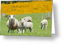 Sheep Grazing Greeting Card