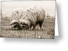 Sheep Grazing Greeting Card