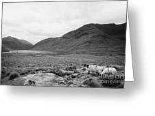 sheep on rough ground Doulough County Mayo Greeting Card
