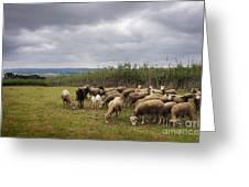 Sheep Pasturing Greeting Card