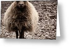 Sheep Stare Greeting Card