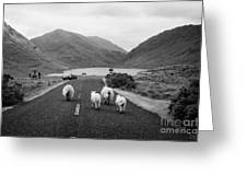 sheep walking away from camera down the middle of the road Doulough mayo ireland Greeting Card