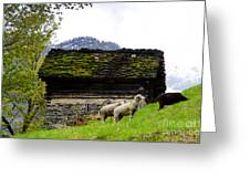 Sheeps And Rustic House Greeting Card