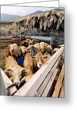 Sheeps Enclosure Greeting Card