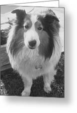 Sheltie Punch Greeting Card