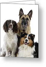 Shepherds With English Springer Spaniel Greeting Card