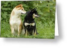Shiba Inu Dogs Greeting Card