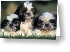 Shih Tzu Puppy Dogs Greeting Card