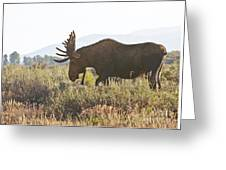 Shiras Bull Moose Greeting Card