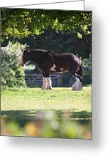 Shire Horse  Greeting Card by Stephen Norris