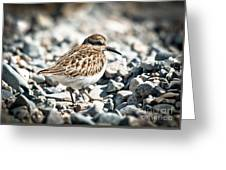 Shorebird Beauty Greeting Card