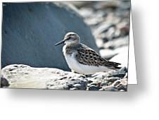 Shorebird Greeting Card