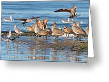 Shorebirds Flocking At Bodega Bay Greeting Card