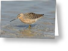 Short-billed Dowitcher, Breeding Greeting Card