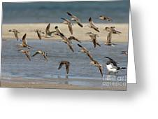 Short-billed Dowitchers Flying Greeting Card