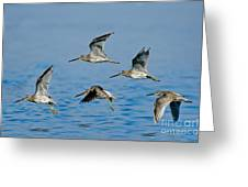 Short-billed Dowitchers In Flight Greeting Card