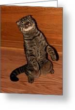 Shorthair Scottish Fold Cat Greeting Card
