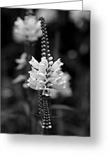 Obedient Plant In Black And White Greeting Card
