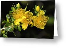 Shrubby St Johnswort Dsmf094 Greeting Card